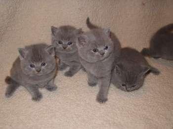 Британские кошки • кошки мира